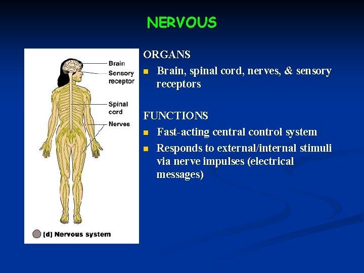 NERVOUS ORGANS n Brain, spinal cord, nerves, & sensory receptors FUNCTIONS n Fast-acting central