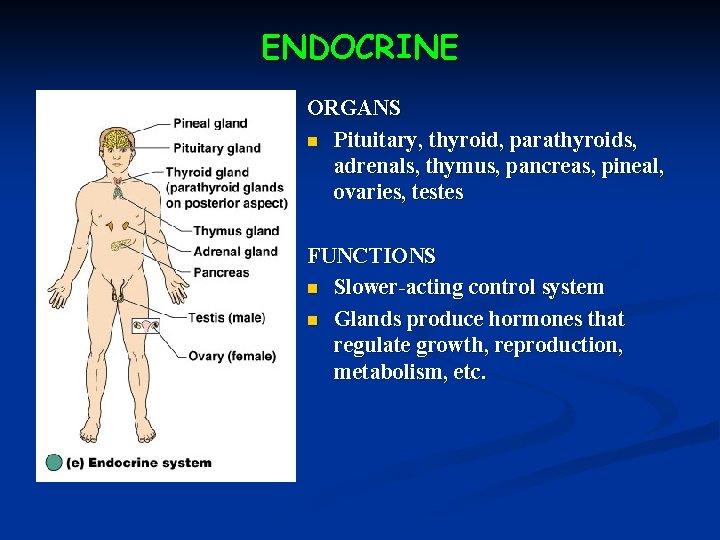 ENDOCRINE ORGANS n Pituitary, thyroid, parathyroids, adrenals, thymus, pancreas, pineal, ovaries, testes FUNCTIONS n