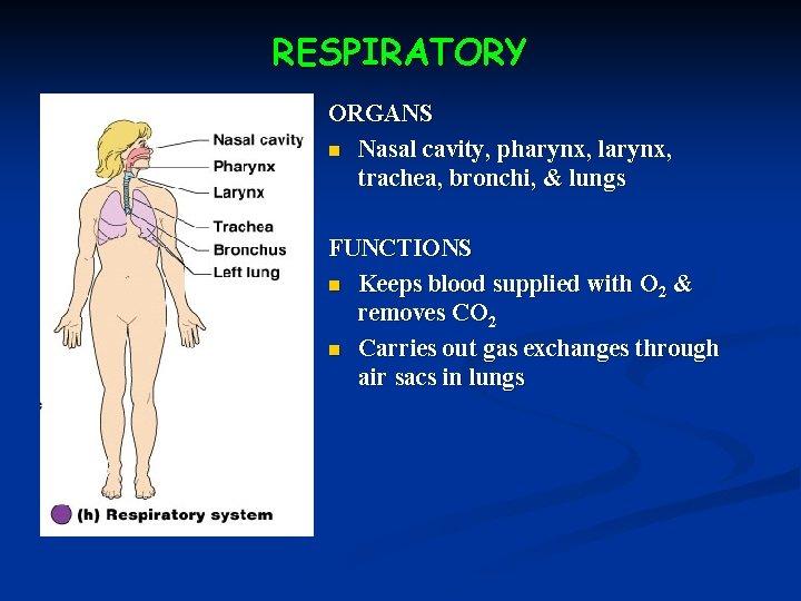 RESPIRATORY ORGANS n Nasal cavity, pharynx, larynx, trachea, bronchi, & lungs FUNCTIONS n Keeps