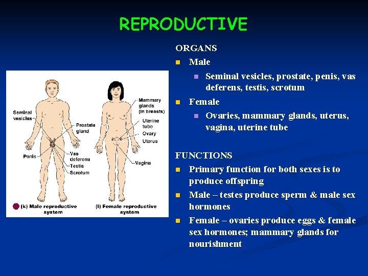 REPRODUCTIVE ORGANS n Male n Seminal vesicles, prostate, penis, vas deferens, testis, scrotum n