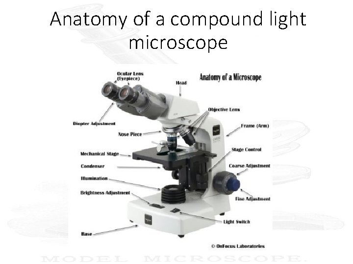 Anatomy of a compound light microscope