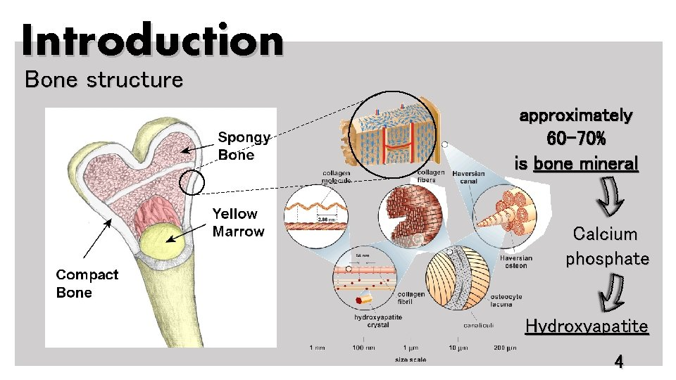 Introduction Bone structure approximately 60 -70% is bone mineral Calcium phosphate Hydroxyapatite 4