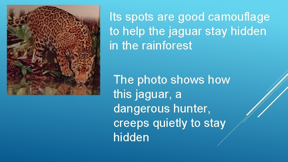 Its spots are good camouflage to help the jaguar stay hidden in the rainforest
