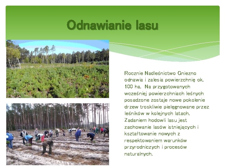 Odnawianie lasu Rocznie Nadleśnictwo Gniezno odnawia i zalesia powierzchnię ok. 100 ha. Na przygotowanych