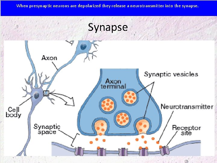 When presynaptic neurons are depolarized they release a neurotransmitter into the synapse. Synapse