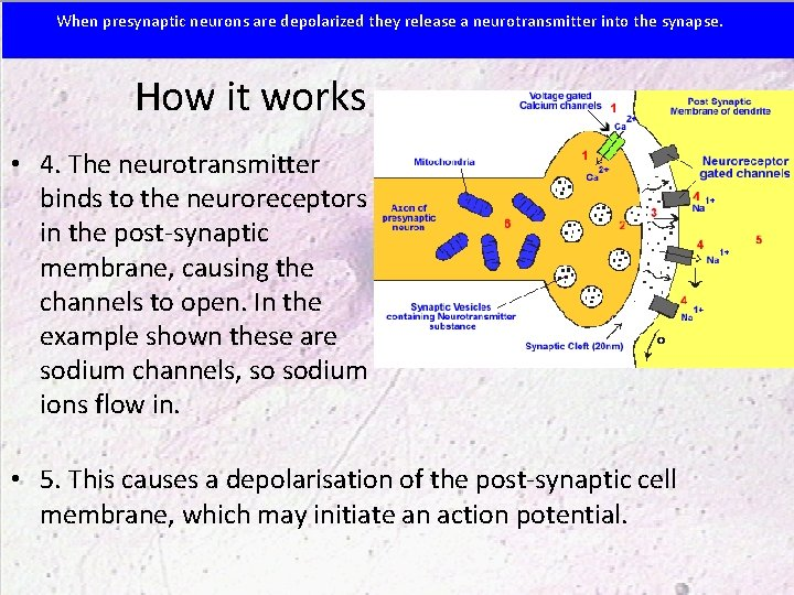 When presynaptic neurons are depolarized they release a neurotransmitter into the synapse. How it