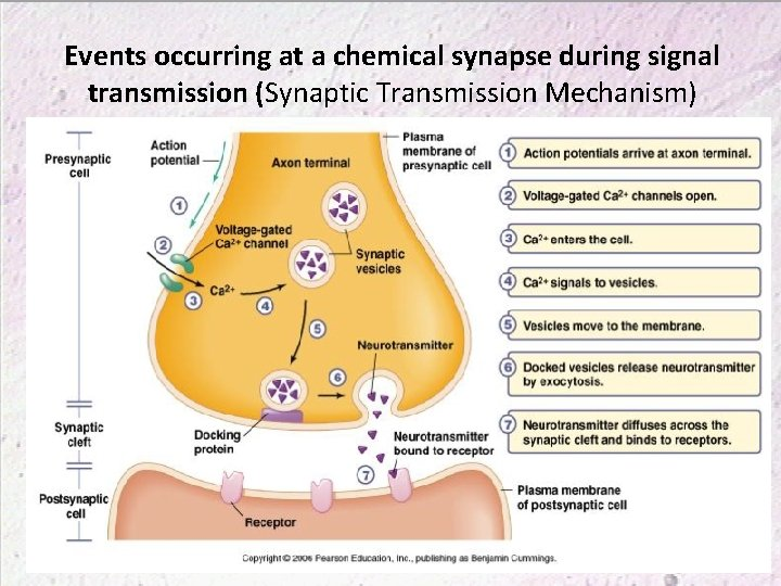 Events occurring at a chemical synapse during signal transmission (Synaptic Transmission Mechanism)
