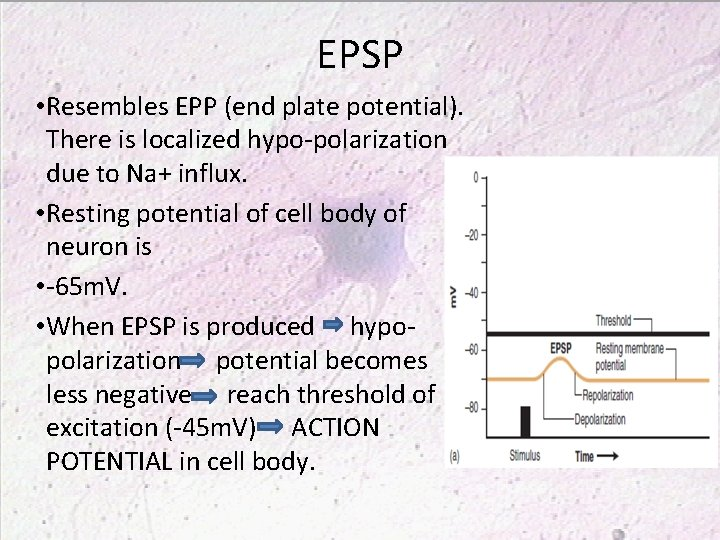 EPSP • Resembles EPP (end plate potential). There is localized hypo-polarization due to Na+