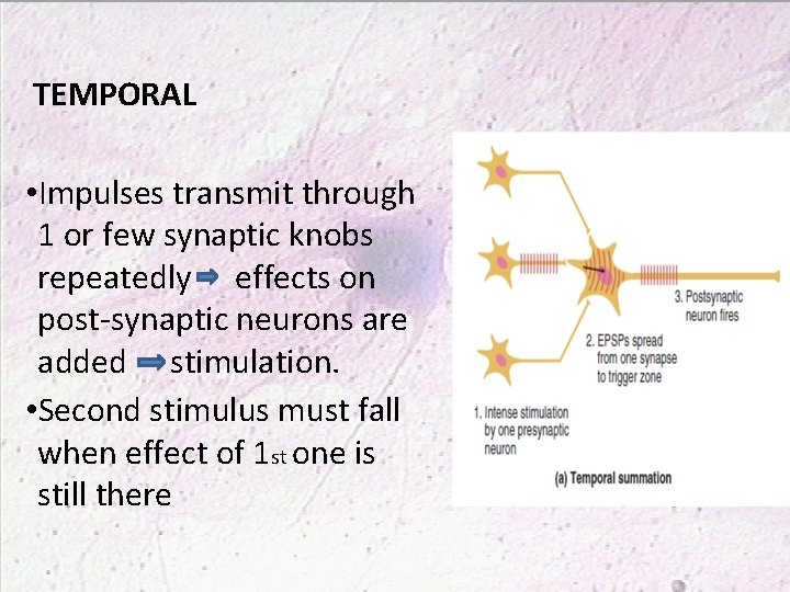 TEMPORAL • Impulses transmit through 1 or few synaptic knobs repeatedly effects on post-synaptic