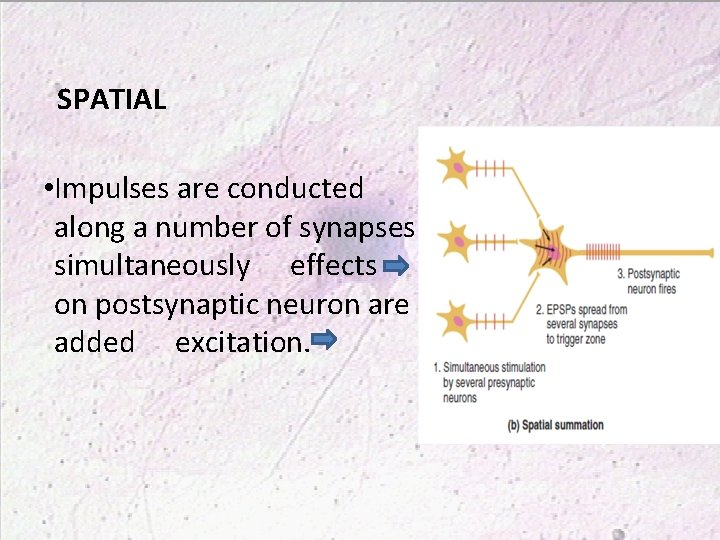SPATIAL • Impulses are conducted along a number of synapses simultaneously effects on postsynaptic