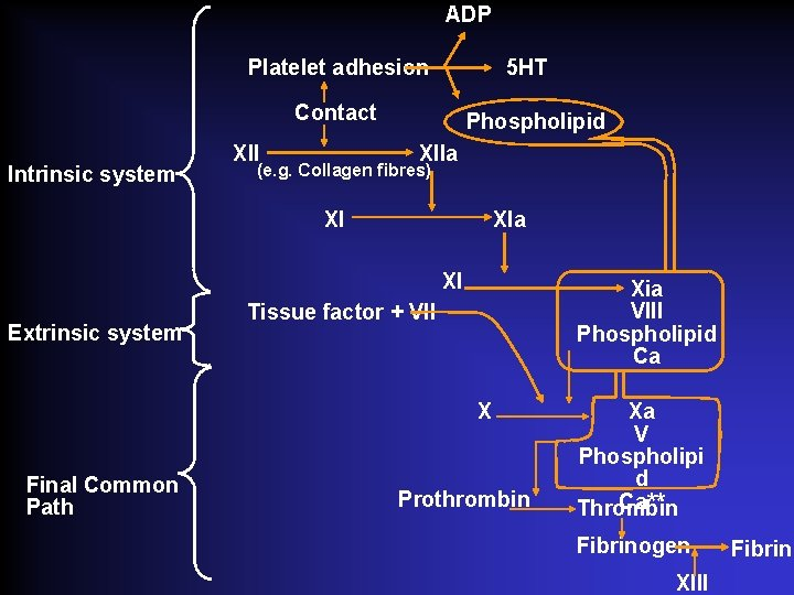 ADP Platelet adhesion 5 HT Contact Intrinsic system XII Phospholipid XIIa (e. g. Collagen