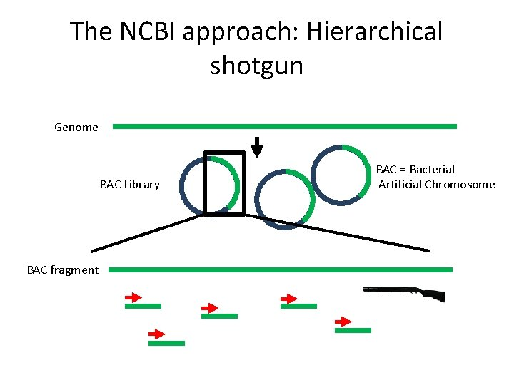 The NCBI approach: Hierarchical shotgun Genome BAC Library BAC fragment BAC = Bacterial Artificial