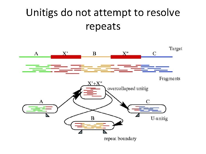 Unitigs do not attempt to resolve repeats