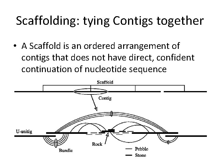 Scaffolding: tying Contigs together • A Scaffold is an ordered arrangement of contigs that