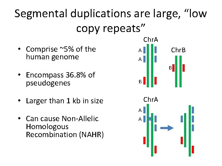 """Segmental duplications are large, """"low copy repeats"""" • Comprise ~5% of the human genome"""