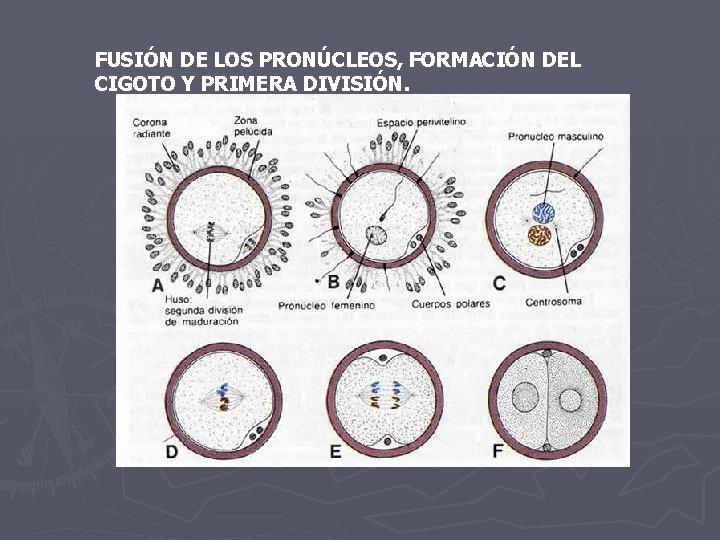 FUSIÓN DE LOS PRONÚCLEOS, FORMACIÓN DEL CIGOTO Y PRIMERA DIVISIÓN.