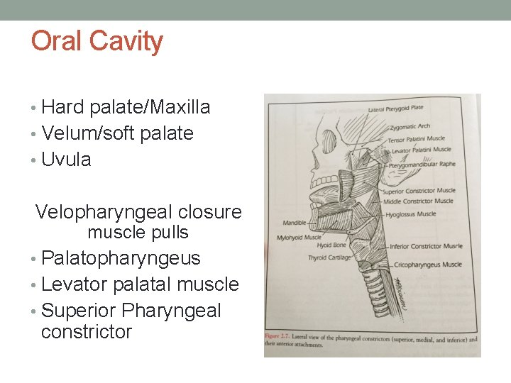 Oral Cavity • Hard palate/Maxilla • Velum/soft palate • Uvula Velopharyngeal closure muscle pulls