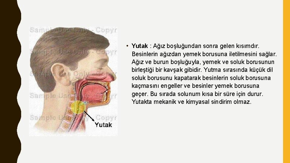 • Yutak : Ağız boşluğundan sonra gelen kısımdır. Besinlerin ağızdan yemek borusuna iletilmesini
