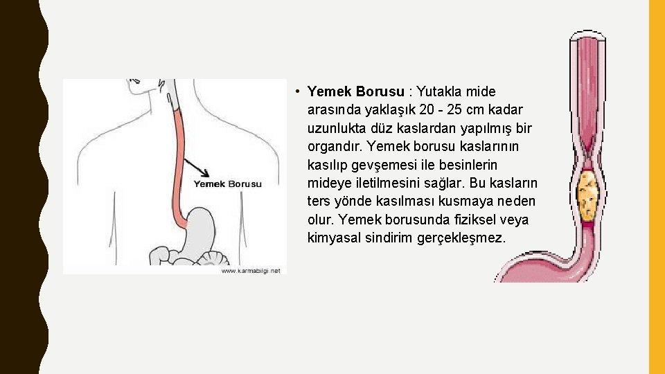 • Yemek Borusu : Yutakla mide arasında yaklaşık 20 - 25 cm kadar