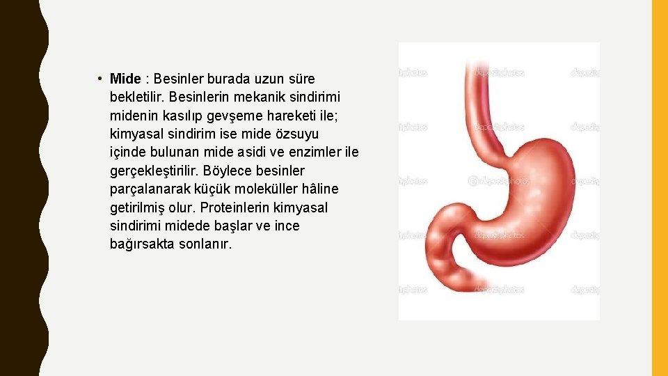 • Mide : Besinler burada uzun süre bekletilir. Besinlerin mekanik sindirimi midenin kasılıp
