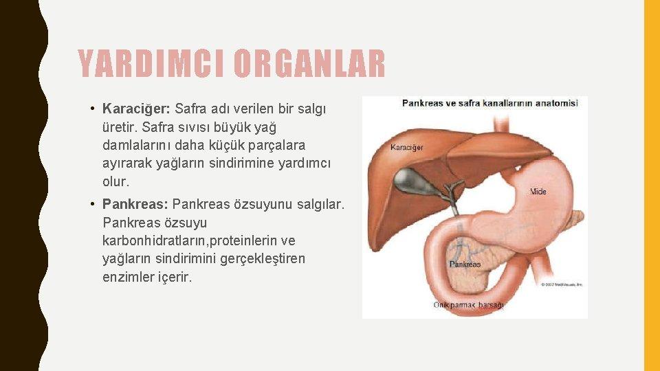 YARDIMCI ORGANLAR • Karaciğer: Safra adı verilen bir salgı üretir. Safra sıvısı büyük yağ