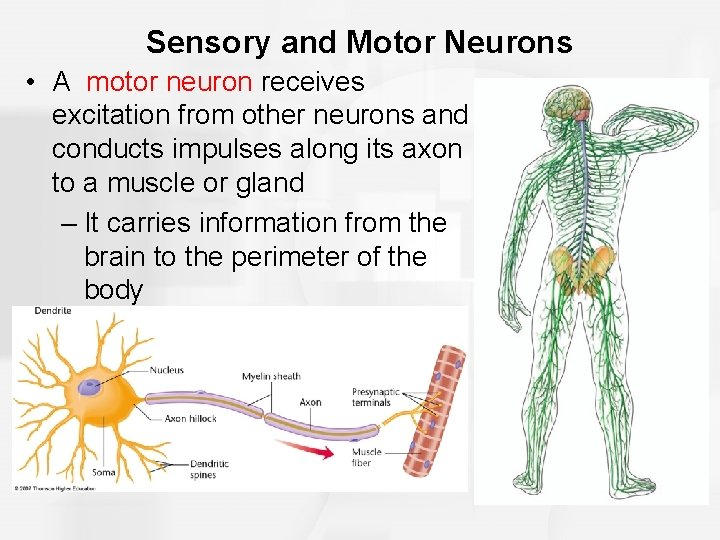 Sensory and Motor Neurons • A motor neuron receives excitation from other neurons and