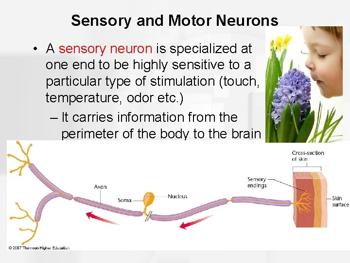 Sensory and Motor Neurons • A sensory neuron is specialized at one end to