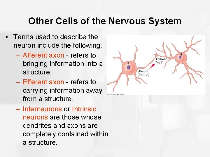 Other Cells of the Nervous System • Terms used to describe the neuron include