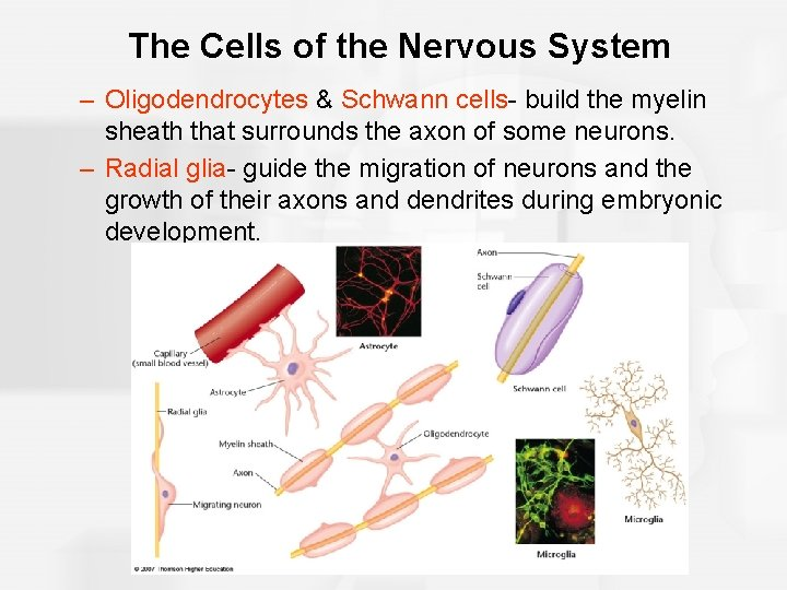 The Cells of the Nervous System – Oligodendrocytes & Schwann cells- build the myelin