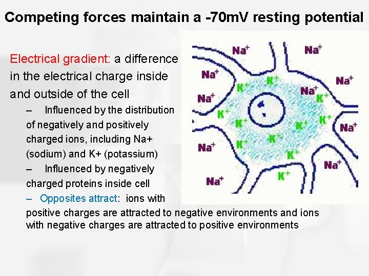 Competing forces maintain a -70 m. V resting potential Electrical gradient: a difference in