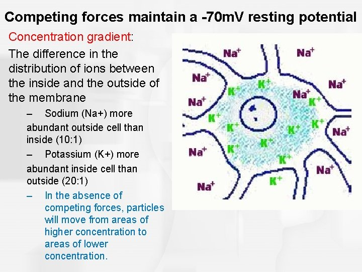 Competing forces maintain a -70 m. V resting potential Concentration gradient: The difference in
