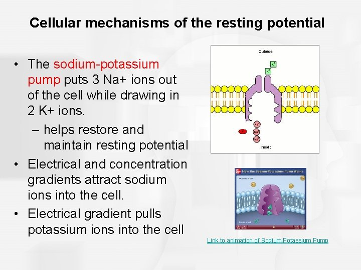 Cellular mechanisms of the resting potential • The sodium-potassium pump puts 3 Na+ ions
