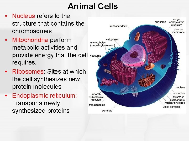 Animal Cells • Nucleus refers to the structure that contains the chromosomes • Mitochondria