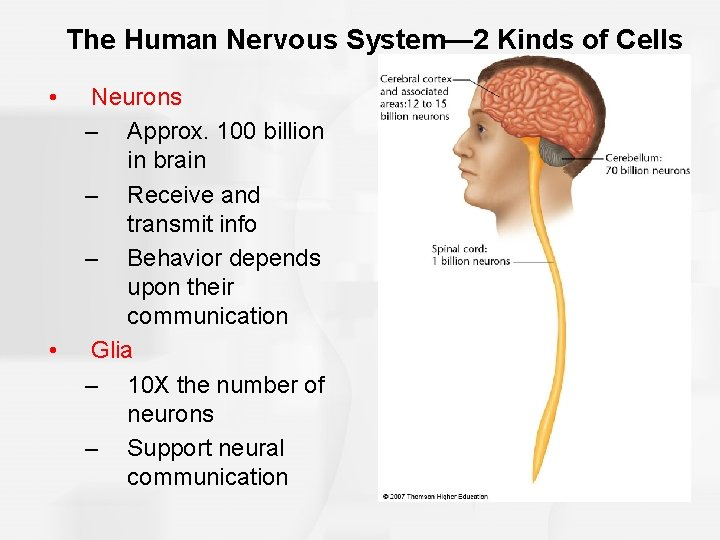 The Human Nervous System— 2 Kinds of Cells • • Neurons – Approx. 100