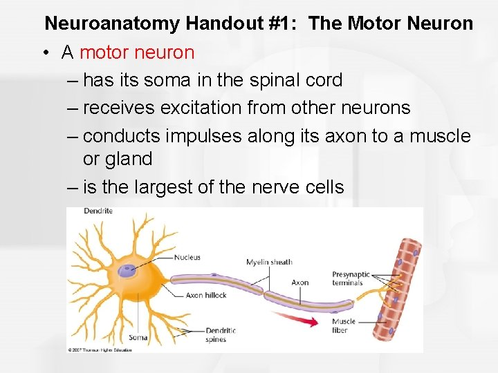 Neuroanatomy Handout #1: The Motor Neuron • A motor neuron – has its soma