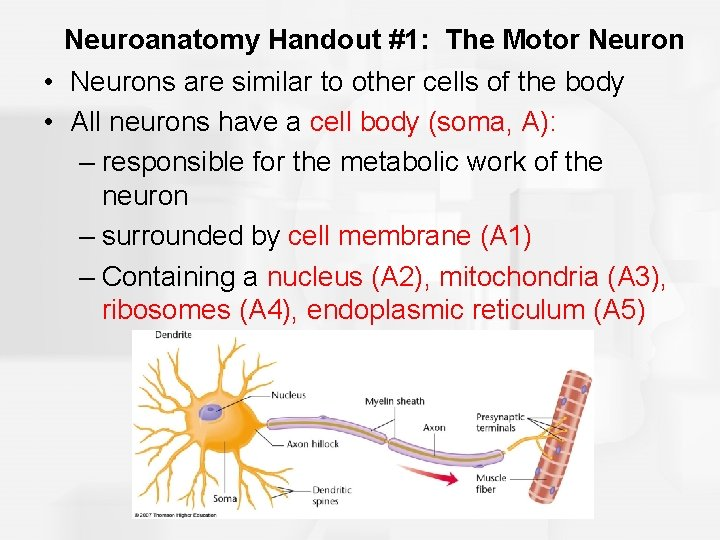Neuroanatomy Handout #1: The Motor Neuron • Neurons are similar to other cells of