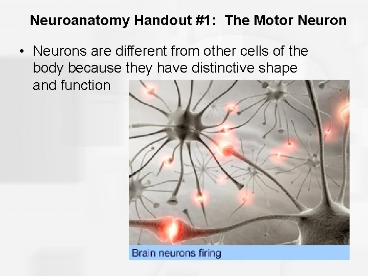 Neuroanatomy Handout #1: The Motor Neuron • Neurons are different from other cells of