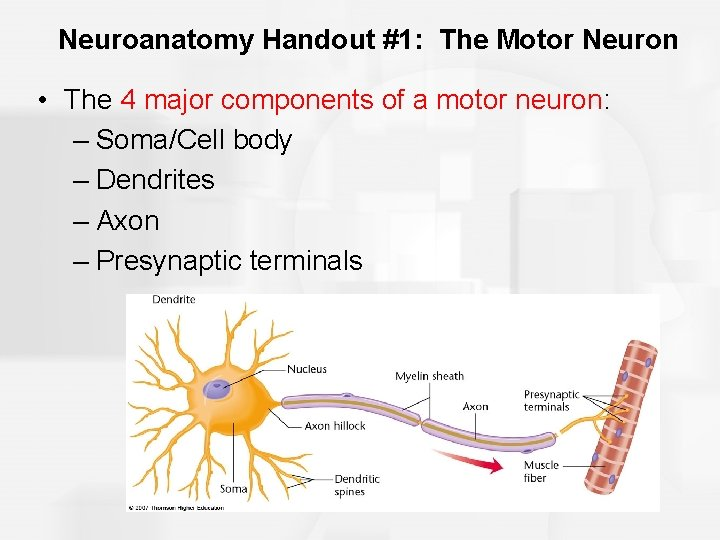 Neuroanatomy Handout #1: The Motor Neuron • The 4 major components of a motor