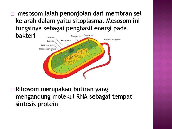 � mesosom ialah penonjolan dari membran sel ke arah dalam yaitu sitoplasma. Mesosom ini