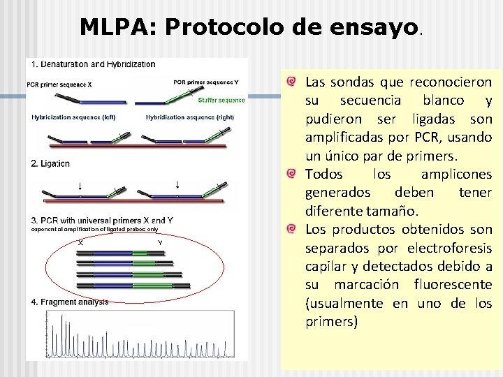 MLPA: Protocolo de ensayo. Las sondas que reconocieron su secuencia blanco y pudieron ser