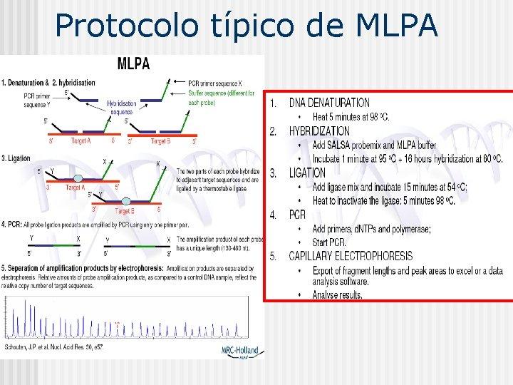 Protocolo típico de MLPA