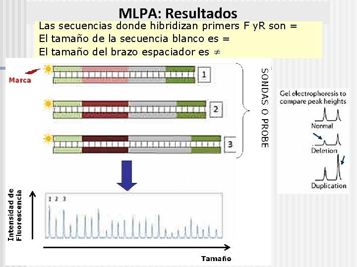 MLPA: Resultados Las secuencias donde hibridizan primers F y. R son = El tamaño