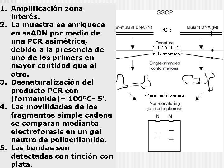 1. Amplificación zona interés. 2. La muestra se enriquece en ss. ADN por medio