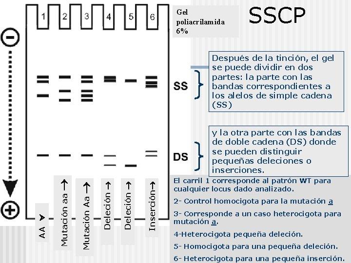 Gel poliacrilamida 6% SSCP Después de la tinción, el gel se puede dividir en