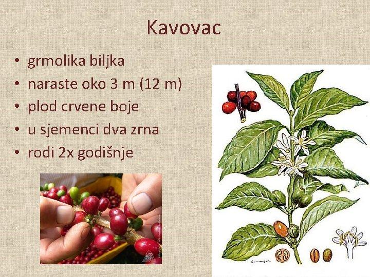Kavovac • • • grmolika biljka naraste oko 3 m (12 m) plod crvene