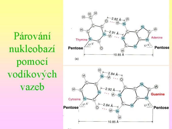 Párování nukleobazí pomocí vodíkových vazeb