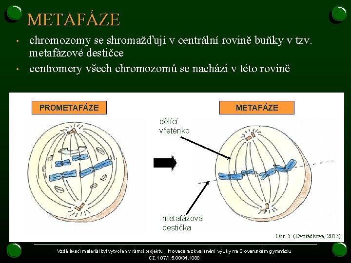 METAFÁZE • • chromozomy se shromažďují v centrální rovině buňky v tzv. metafázové destičce