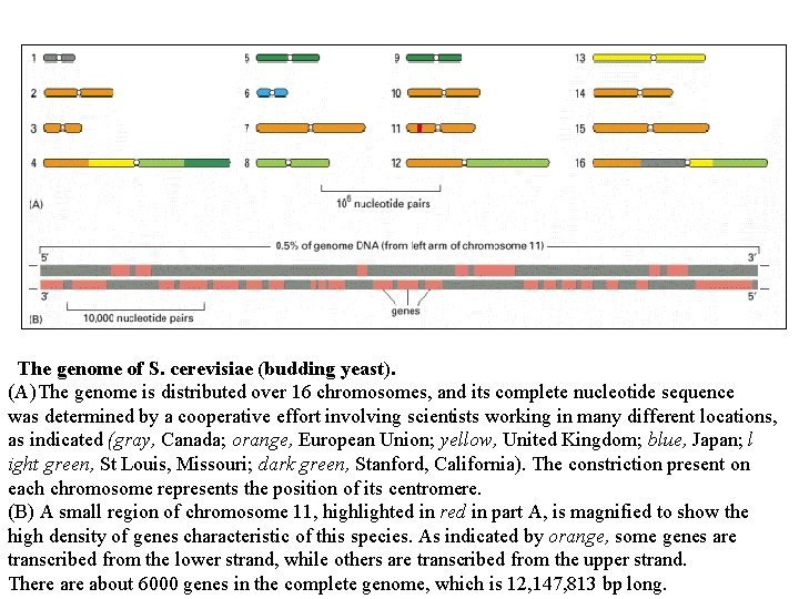 The genome of S. cerevisiae (budding yeast). (A) The genome is distributed over