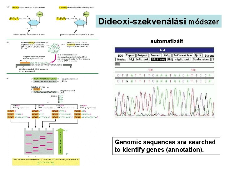 Dideoxi-szekvenálási módszer automatizált Genomic sequences are searched to identify genes (annotation).