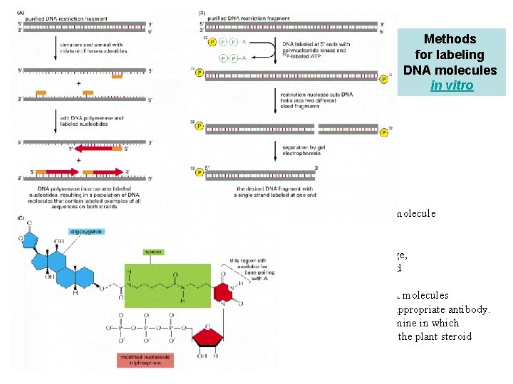 Methods for labeling DNA molecules in vitro (A) DNA polymerase enzyme labels all the
